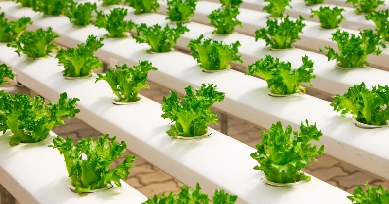 Lettuces growing in a hydroponics system