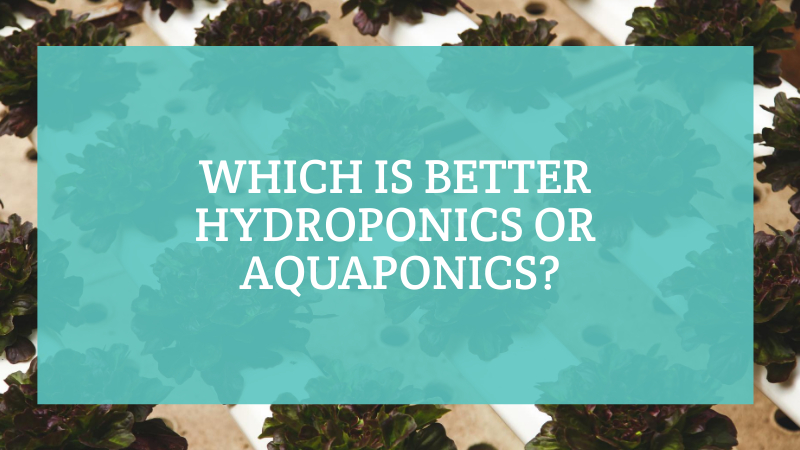 Featured image for Which is Better Hydroponics or Aquaponics