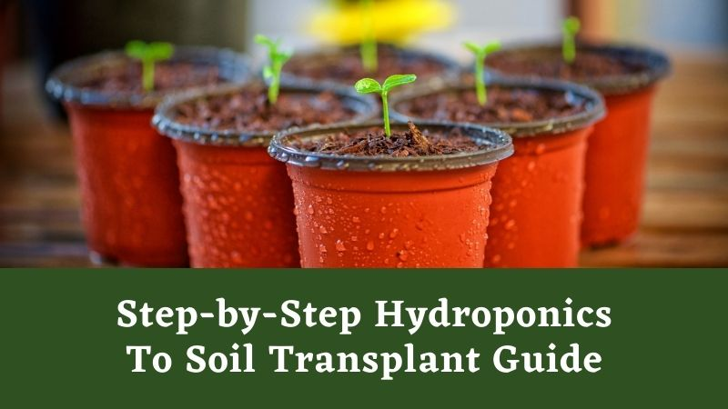 Featured image for Step-by-Step Hydroponics To Soil Transplant Guide